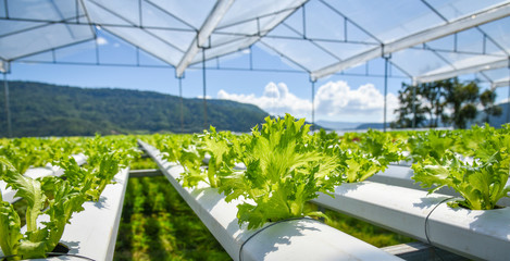 vegetable hydroponic system / young and fresh vegetable Frillice Iceberg salad growing garden