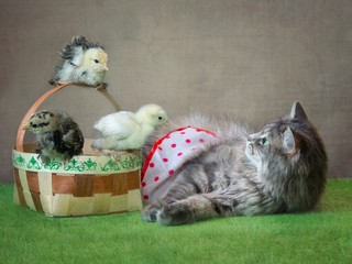 Yong gray kitty and little chickens