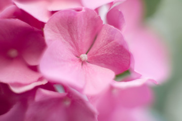 Fotomurales - Hydrangea background, pink pattern and floral texture. Bushes of flowers are blooming in spring and summer.