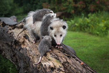 Wall Mural - Opossum Joey (Didelphimorphia) and Laden Mother Meet on Log Summer