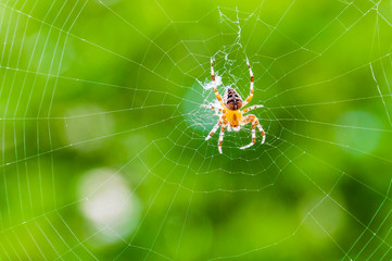 Yellow black Orb-weaver spider Araneid insect sitting on his spiderweb on green blurred background