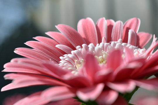 Pink flower blooming in spring in the famous Dutch tulip park. Taken in Keukenhof/Netherlands.