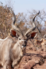 Close up of a kudu in the wild