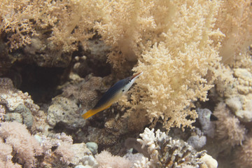 Indian Bird Wrasse in Red Sea