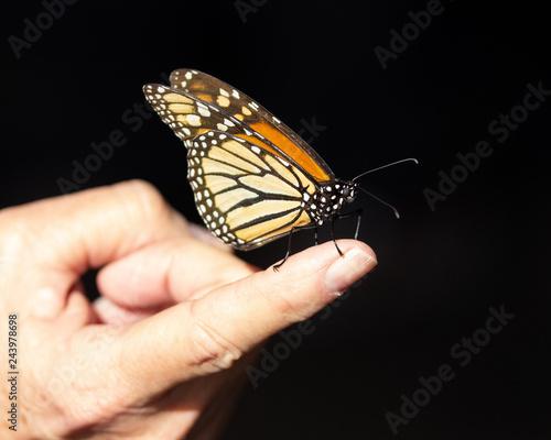 2150d4b65 Monarch Butterfly on Finger