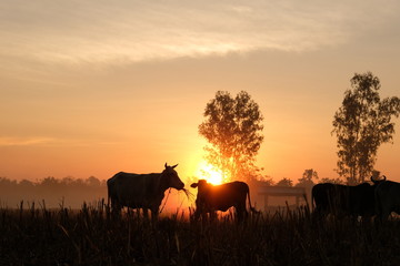 twilight sun rise. cow silhouette at countryside.
