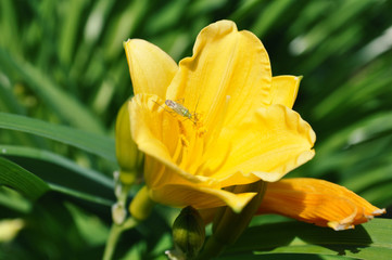 close-up of yellow daylily flower on lawn garden with green capsid insect