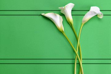 White calla lilies on green paper background.Top view.