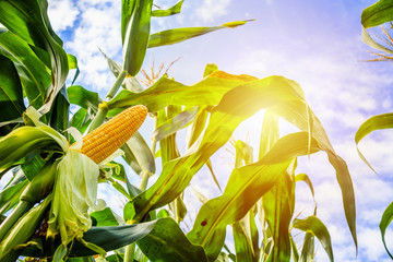 Fototapeta Corn cob growth in agriculture field outdoor with clouds and blue sky obraz