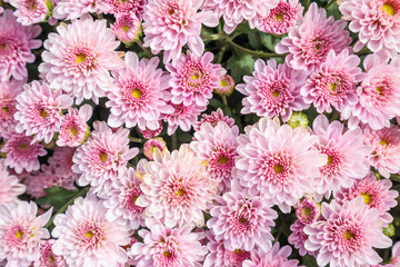 beautiful chrysanthemum flowers background top view