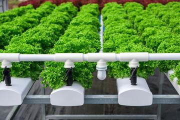 Fresh organic green leaves lettuce salad plant in hydroponics vegetables farm system