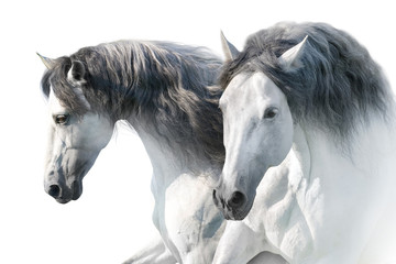 Two White andalusian horse portrait on white background. High key image
