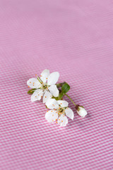 White delicate cherry blossom on pink