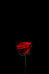 beautiful One red rose on a black background