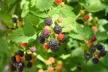 Ripe fresh blackberries in the fruit garden. Cultivated blackberries are notable for their significant contents of dietary fiber, vitamin C, and vitamin K