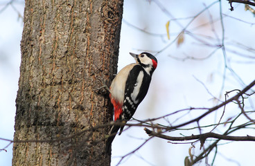 great spotted woodpecker (Dendrocopos major) climbing on the trunk of tree