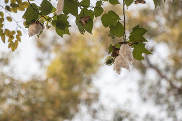Close up Kapok Or silk white Cotton Tree.Fresh ceiba pods on tree with in blurred background.