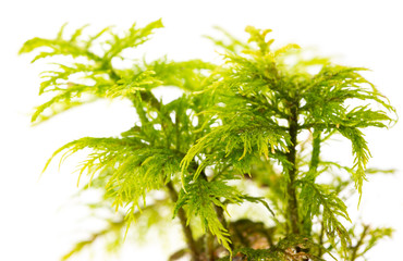 moss plant in the detail macro photo