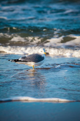Seagull in the Wave / Seabird stand at shore of Baltic Sea (copy space)