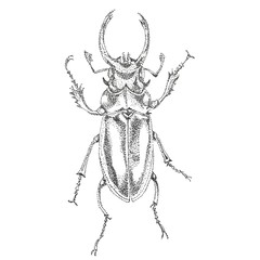 stag-beetle painted pointe