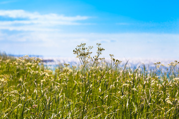 Beautiful Summer Day at the Coast / Wildflower meadow near sea, blue sky at sunny day (copy space)
