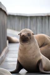 Fur seal in Cape Cross Namibia