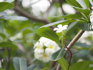 white flower Singapore graveyard flower Frangipani tree Plumeria