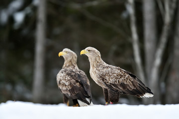 Two eagles on snow. Two adult white-tailed eagles on snow in winter.