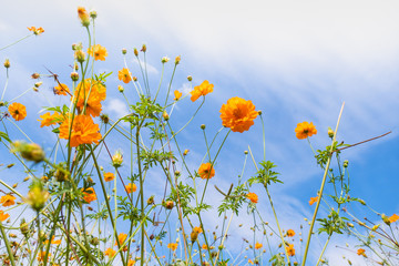 Beautiful blooming yellow cosmos flower with clouds and blue sky. Landscape and botany image.