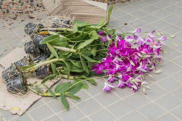 Preparing to purple orchid flowers in the garden.Dendrobium orchid hybrids in the floor.