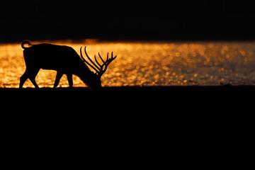 Père Davids deer or Milu