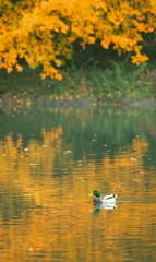 A duck swims in New York's Central Park.