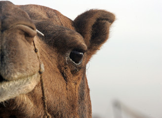 A camel stands in Pushkar.