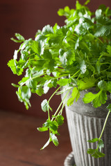 fresh cilantro herb in flowerpot