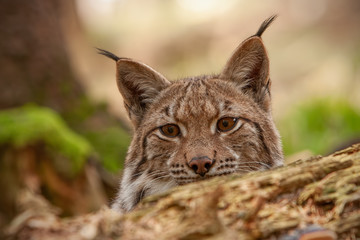 In de dag Lynx Detailed close-up of hiding adult eursian lynx on a hunt in autmn forest. Endangered mammal predator hiding in natural environment. Wildlife scenery with camouflaged animal.