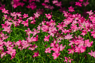 Zephyranthes minuta in nature with pink flowers