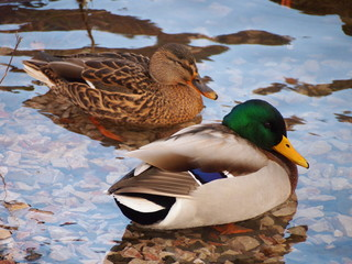A couple of ducks are swimming in the pond Wall mural