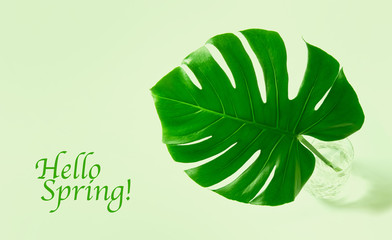 Green leaf exotic flower monstera Hello Spring
