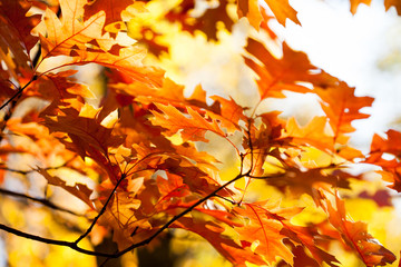 Beautiful Red oak leaves background. Autumn foliage colorful orange brown leaves, sunny day forest scene. Selective focus