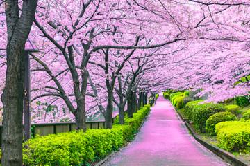 Walkway under the sakura tree which is the romantic atmosphere scene in Japan