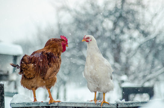 A rooster and a hen standing on the fence and watching each other on a snowy winter day