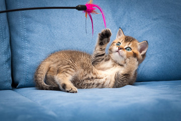 Playful brown British kitten playing with a stick lying upside down on a blue sofa