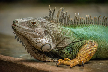 medium profile shot of colorful green and orange tropical iguana