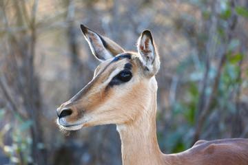 Impala Female Portrait
