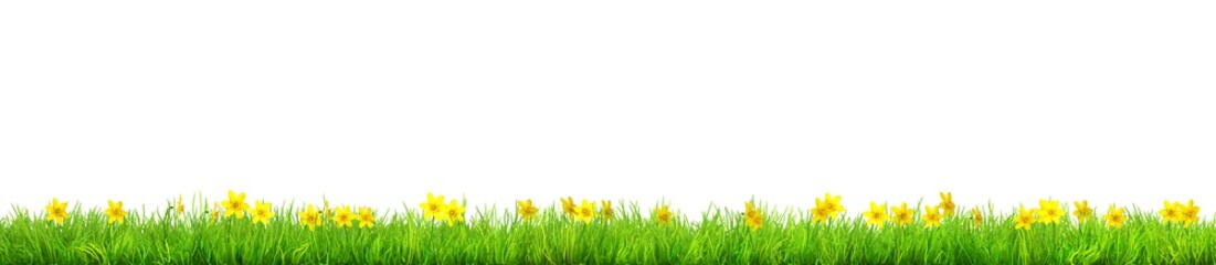 a Spring narcissus flowers and green grass isolated
