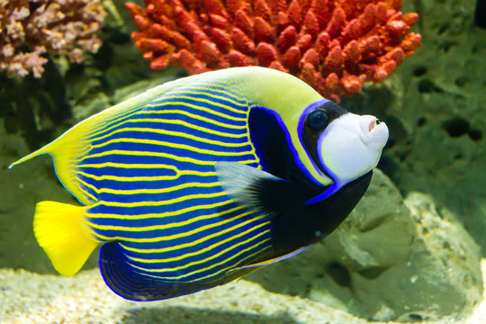 Emperor Angelfish (Pomacanthus imperator)  also called the Imperator Angelfish