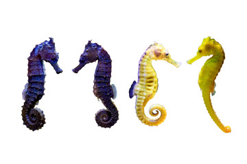 Various type of Sea Horse on white isolated background