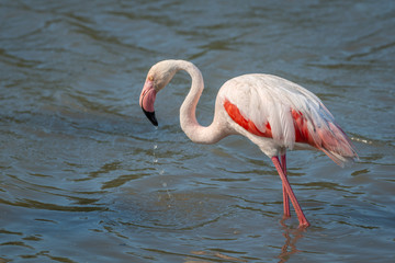 Fototapete - Single Wild Pink Flamingo