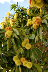 Closeup of a chestnut tree (Castanea sativa) loaded with chestnuts in autumn