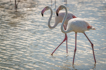 Fototapete - Pair of wild Pink Flamingos